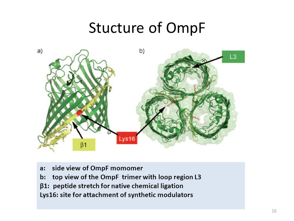 Stucture of OmpF a: side view of OmpF momomer b: top view of the OmpF trimer with loop region L3 β1: peptide stretch for native chemical ligation Lys16: site for attachment of synthetic modulators 16