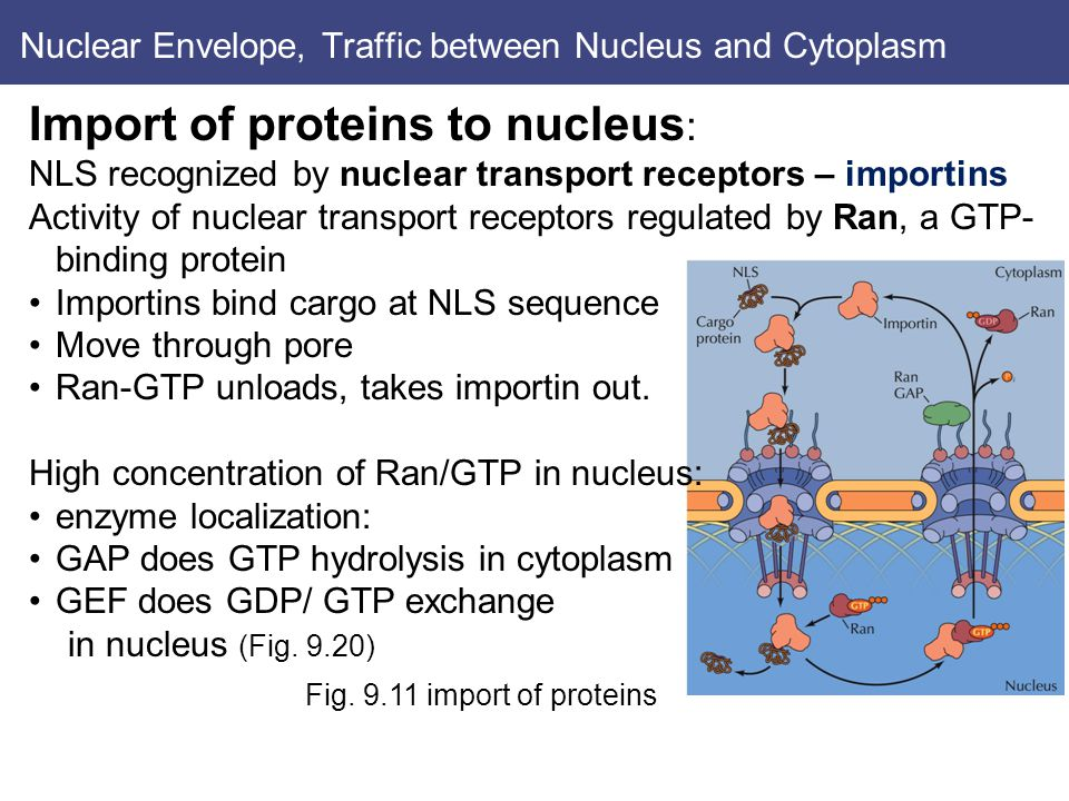 Nuclear Envelope, Traffic between Nucleus and Cytoplasm Import of proteins to nucleus : NLS recognized by nuclear transport receptors – importins Activity of nuclear transport receptors regulated by Ran, a GTP- binding protein Importins bind cargo at NLS sequence Move through pore Ran-GTP unloads, takes importin out.