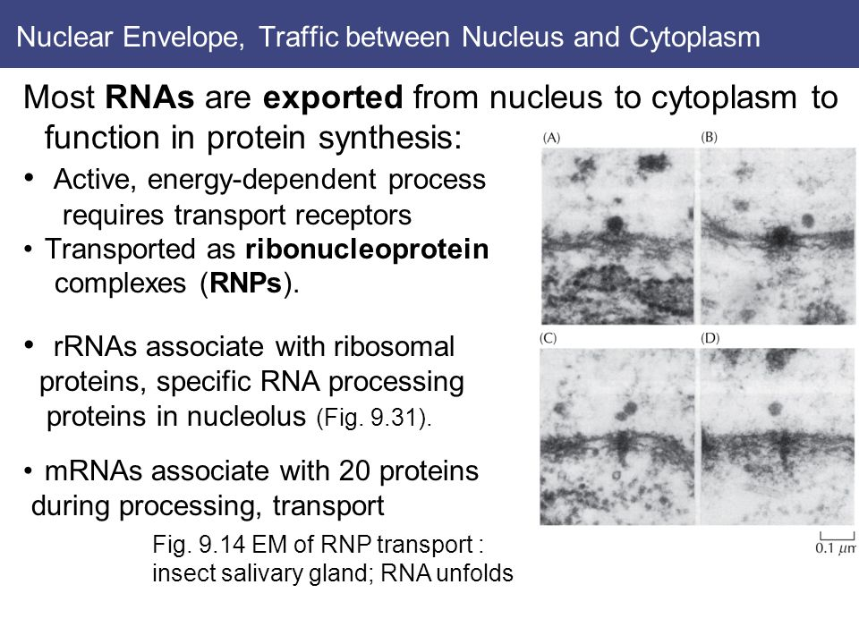Nuclear Envelope, Traffic between Nucleus and Cytoplasm Most RNAs are exported from nucleus to cytoplasm to function in protein synthesis: Active, energy-dependent process requires transport receptors Transported as ribonucleoprotein complexes (RNPs).
