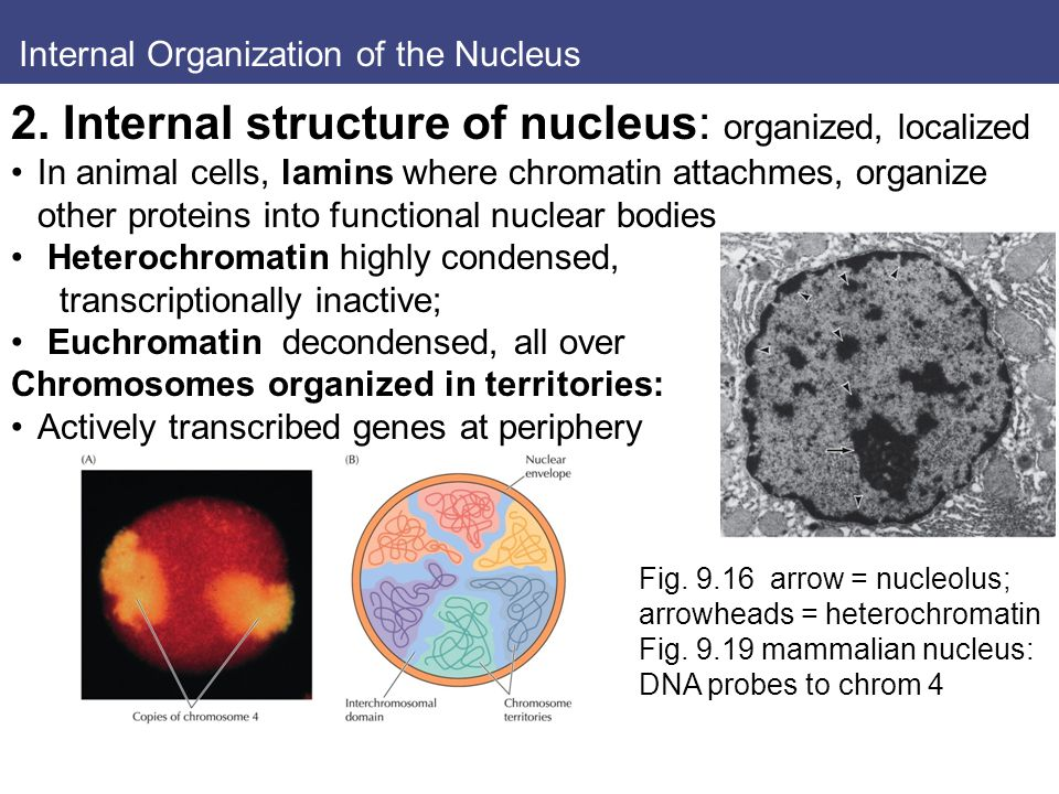 Internal Organization of the Nucleus 2.