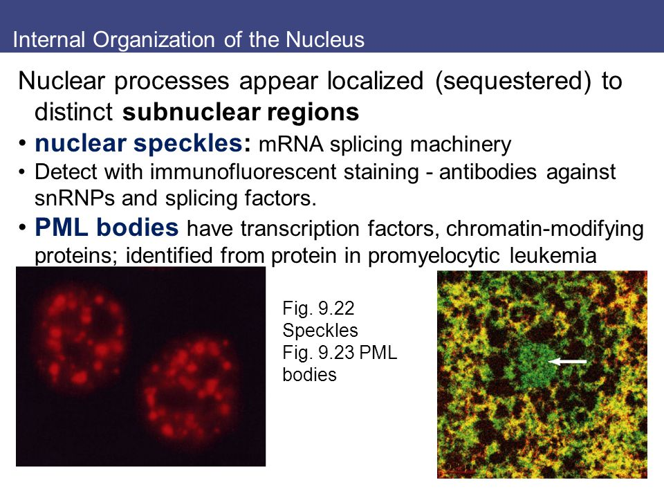Internal Organization of the Nucleus Nuclear processes appear localized (sequestered) to distinct subnuclear regions nuclear speckles: mRNA splicing machinery Detect with immunofluorescent staining - antibodies against snRNPs and splicing factors.