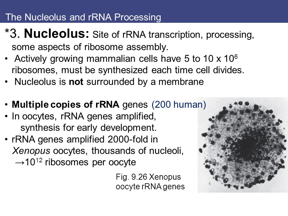 The Nucleolus and rRNA Processing Fig. 9.26 Xenopus oocyte rRNA genes *3.