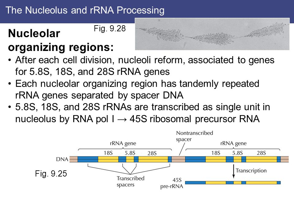The Nucleolus and rRNA Processing Nucleolar organizing regions: After each cell division, nucleoli reform, associated to genes for 5.8S, 18S, and 28S rRNA genes Each nucleolar organizing region has tandemly repeated rRNA genes separated by spacer DNA 5.8S, 18S, and 28S rRNAs are transcribed as single unit in nucleolus by RNA pol I → 45S ribosomal precursor RNA Fig.