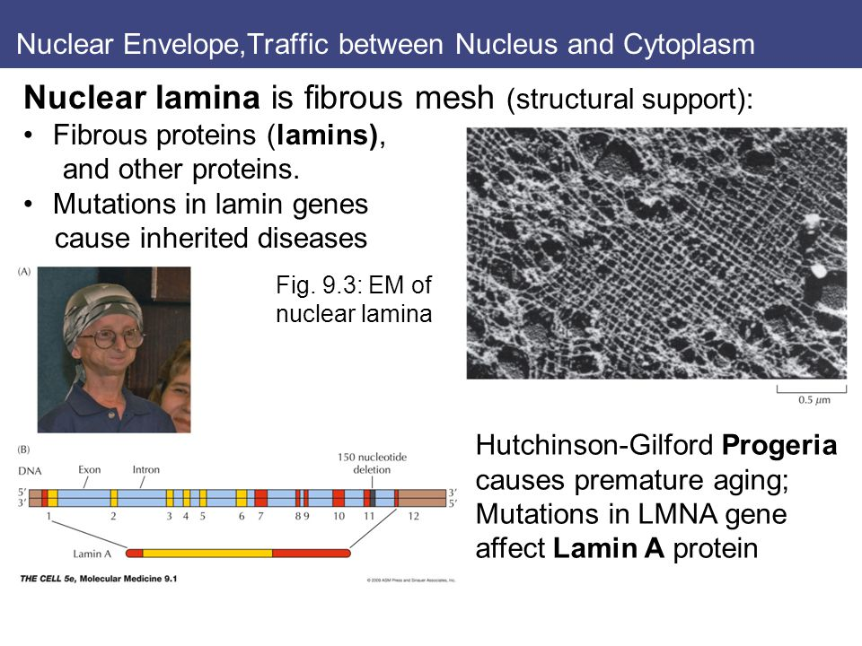 Nuclear Envelope,Traffic between Nucleus and Cytoplasm Nuclear lamina is fibrous mesh (structural support): Fibrous proteins (lamins), and other proteins.