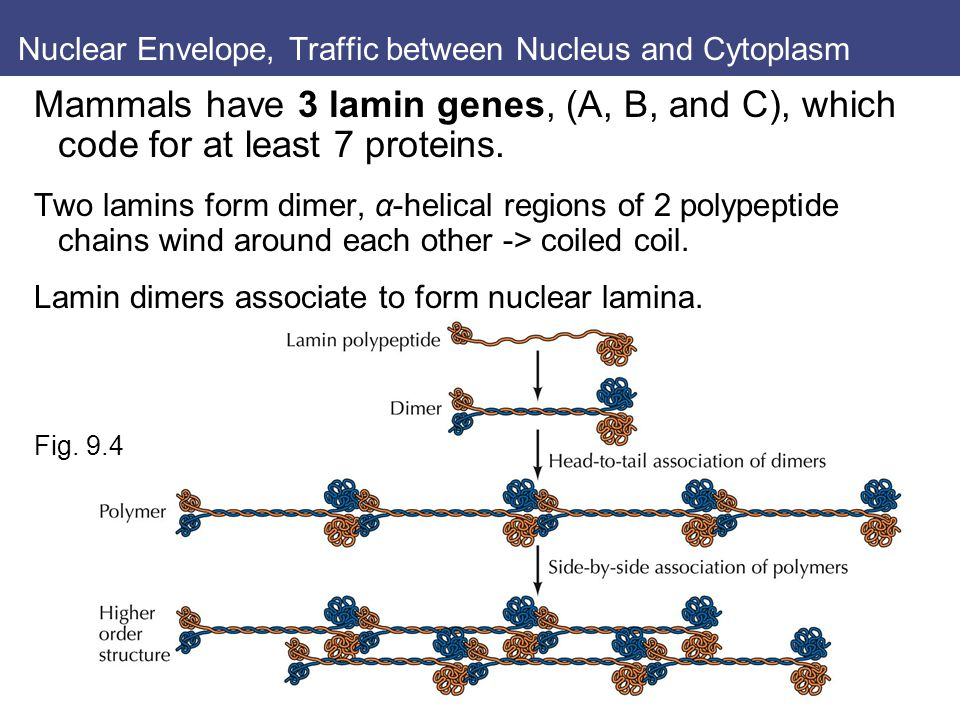 Nuclear Envelope, Traffic between Nucleus and Cytoplasm Mammals have 3 lamin genes, (A, B, and C), which code for at least 7 proteins.
