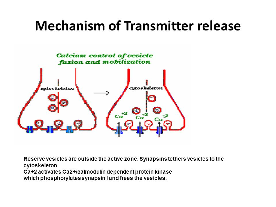 Mechanism of Transmitter release Reserve vesicles are outside the active zone.