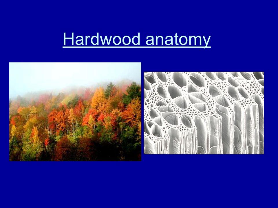 Hardwoods - vessel element and pores Vessel element Fibers
