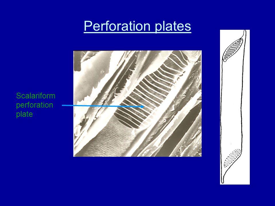 Inter-vessel pitting alternate opposite linear/scalariform