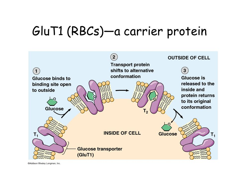 GluT1 (RBCs)—a carrier protein