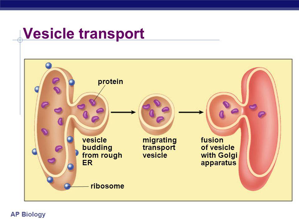 AP Biology Golgi Apparatus