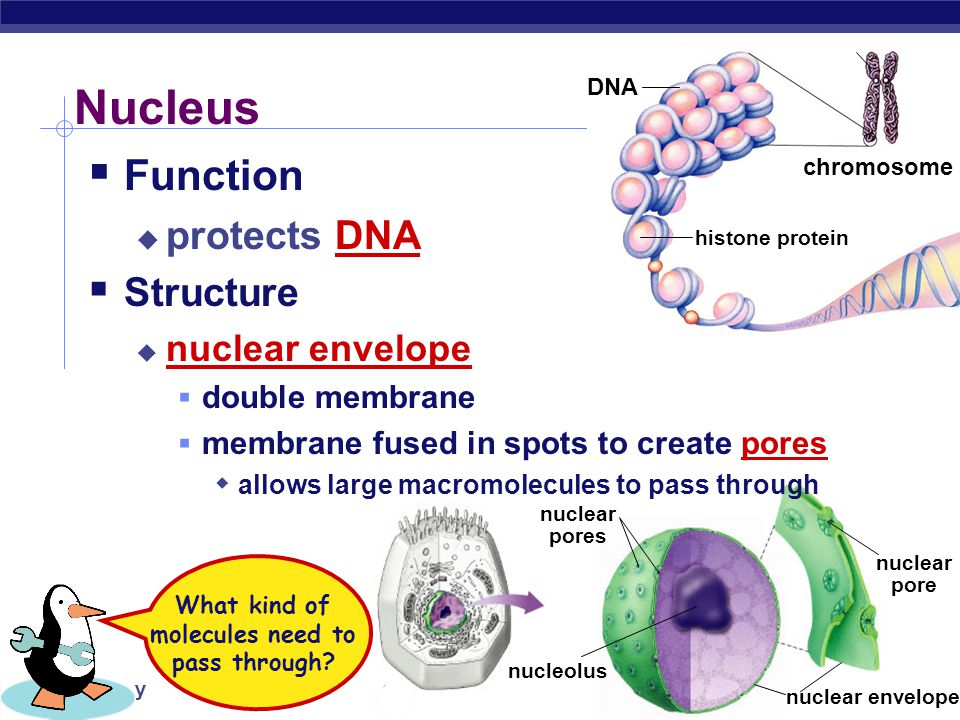 AP Biology Building Proteins  Organelles involved  nucleus  ribosomes  endoplasmic reticulum (ER)  Golgi apparatus  vesicles nucleusribosomeER Golgi apparatus vesicles The Protein Assembly Line