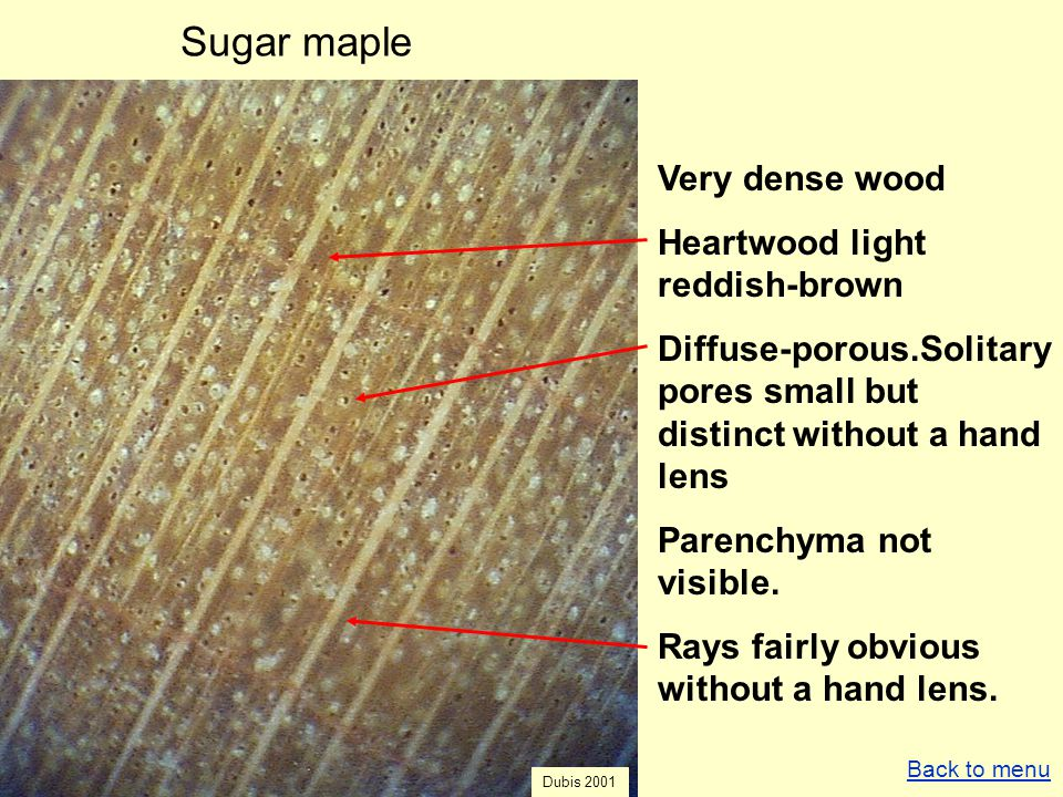 Sugar maple Very dense wood Heartwood light reddish-brown Diffuse-porous.Solitary pores small but distinct without a hand lens Parenchyma not visible.
