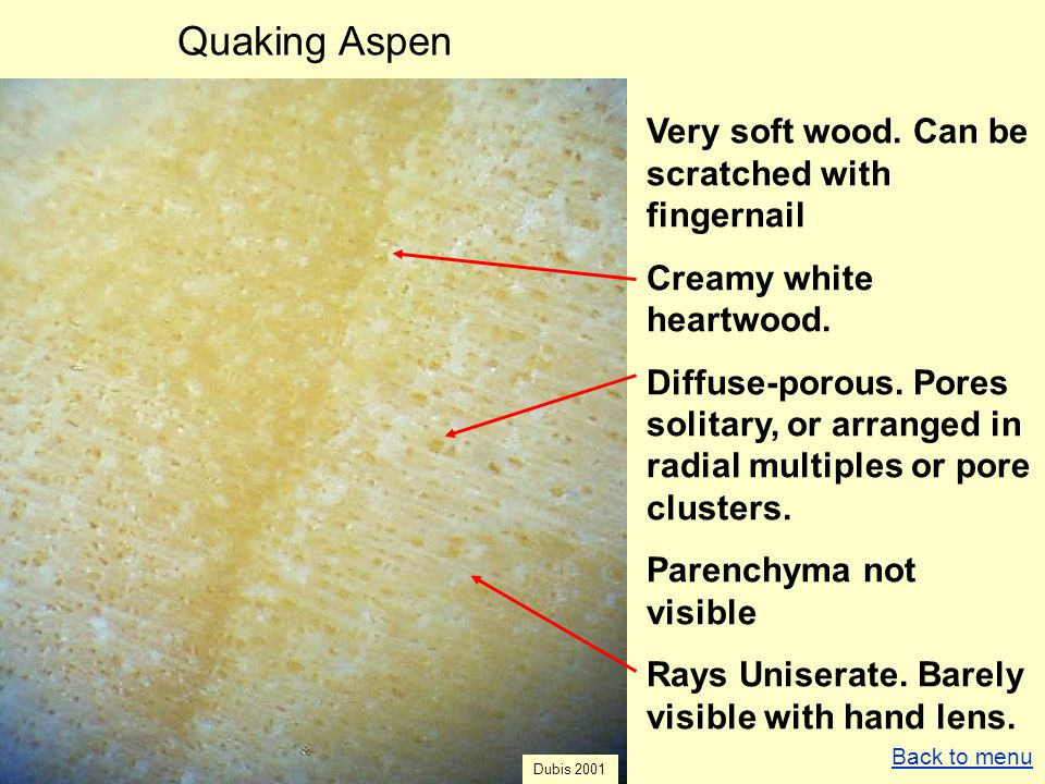 Quaking Aspen Very soft wood. Can be scratched with fingernail Creamy white heartwood. Diffuse-porous. Pores solitary, or arranged in radial multiples