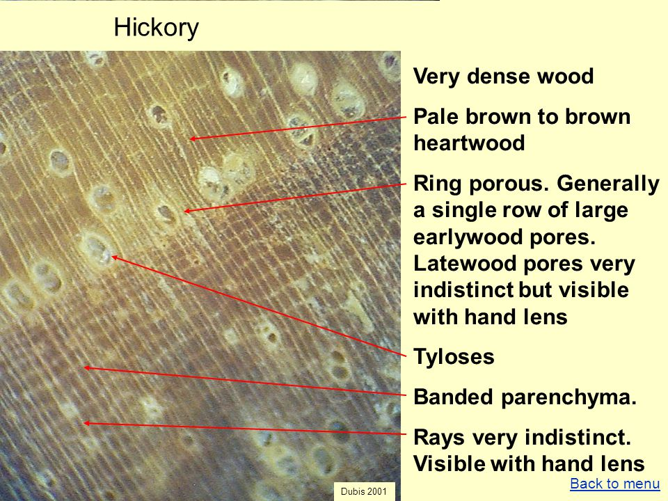 Hickory Very dense wood Pale brown to brown heartwood Ring porous. Generally a single row of large earlywood pores. Latewood pores very indistinct but