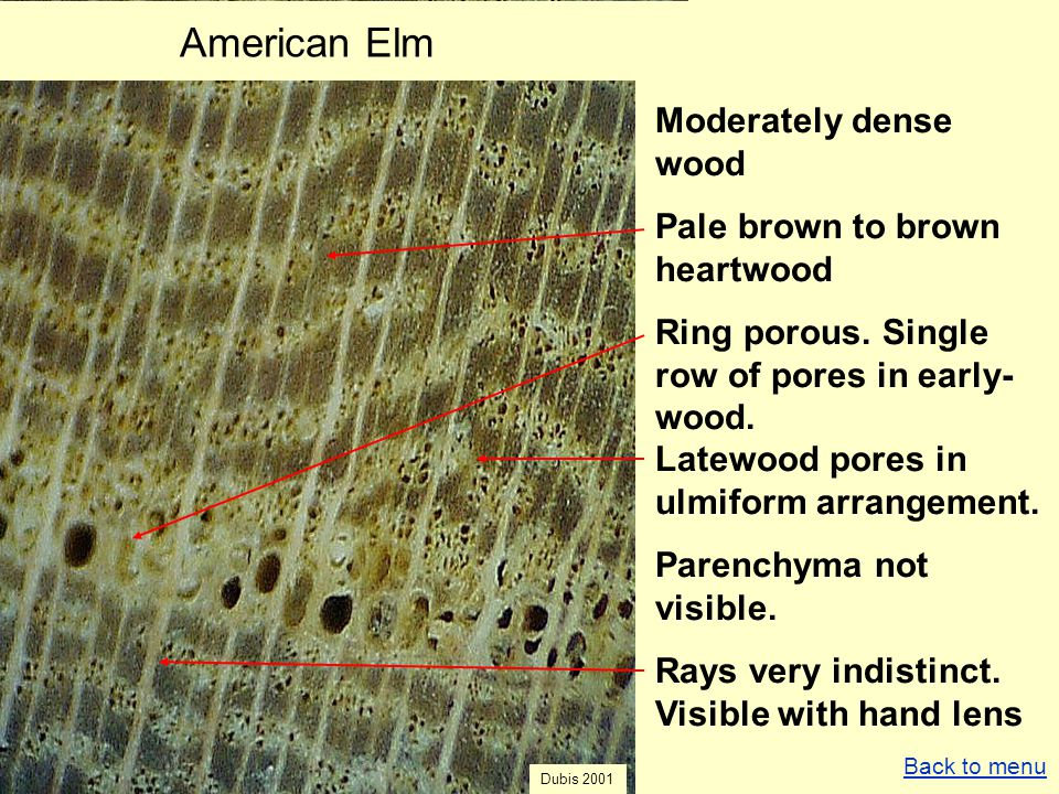 American Elm Moderately dense wood Pale brown to brown heartwood Ring porous. Single row of pores in early- wood. Latewood pores in ulmiform arrangeme