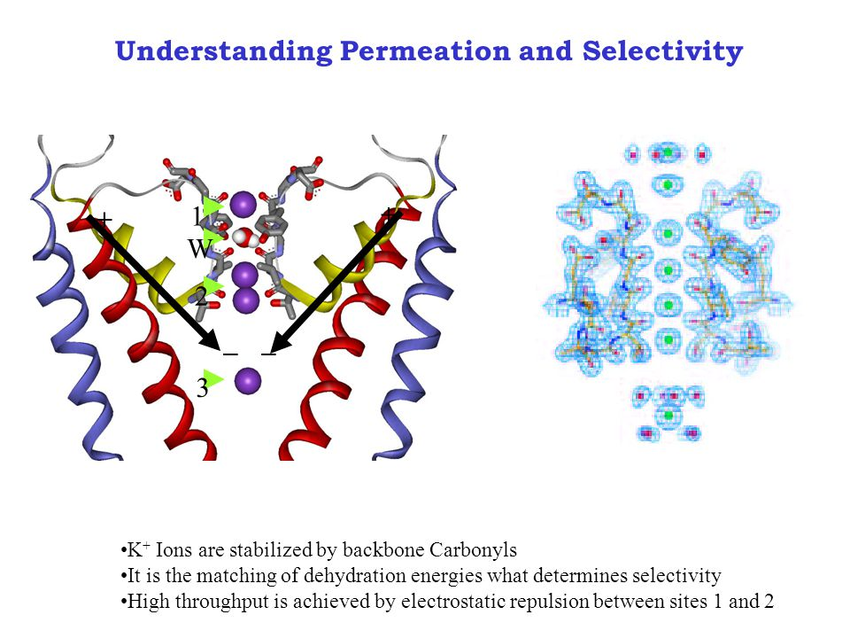 Understanding Permeation and Selectivity W + __ + 1 2 3 K + Ions are stabilized by backbone Carbonyls It is the matching of dehydration energies what determines selectivity High throughput is achieved by electrostatic repulsion between sites 1 and 2