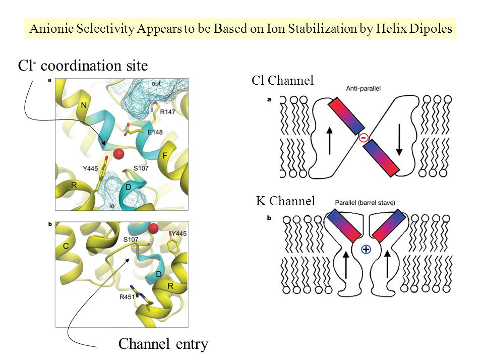 Cl Channel K Channel Anionic Selectivity Appears to be Based on Ion Stabilization by Helix Dipoles Cl - coordination site Channel entry