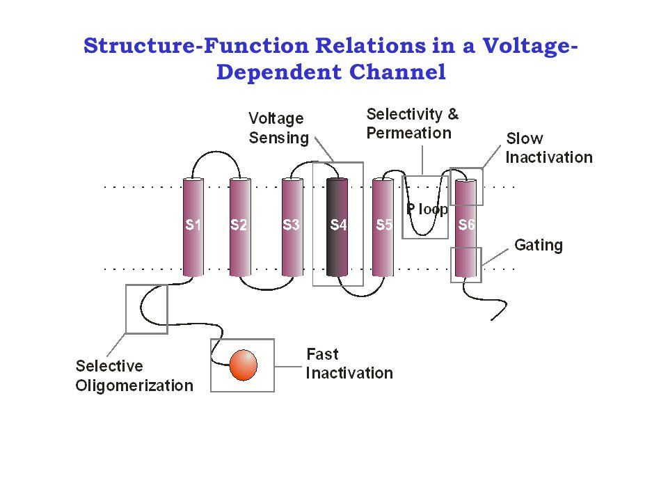 Structure-Function Relations in a Voltage- Dependent Channel