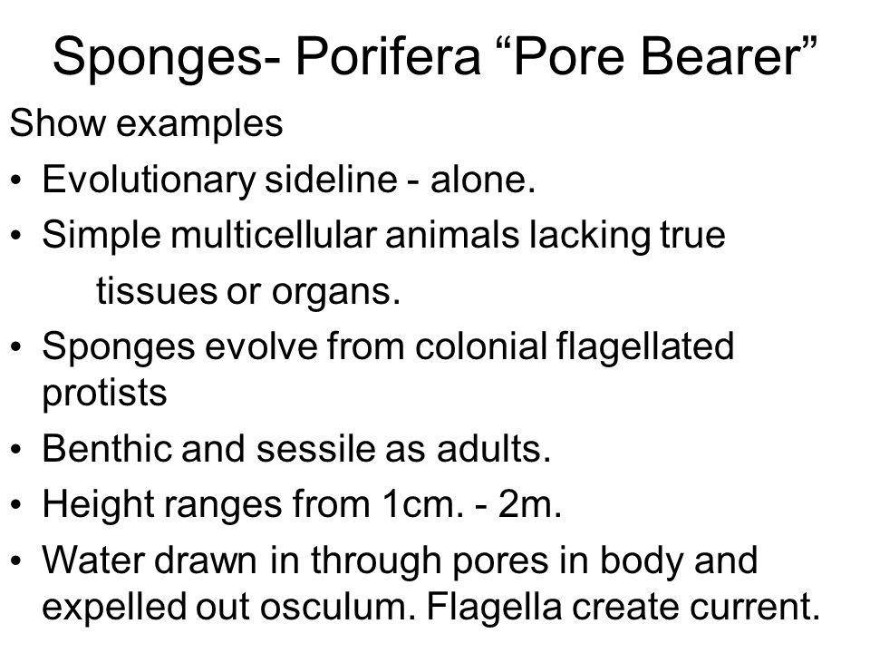"Sponges- Porifera ""Pore Bearer"" Show examples Evolutionary sideline - alone. Simple multicellular animals lacking true tissues or organs. Sponges evol"