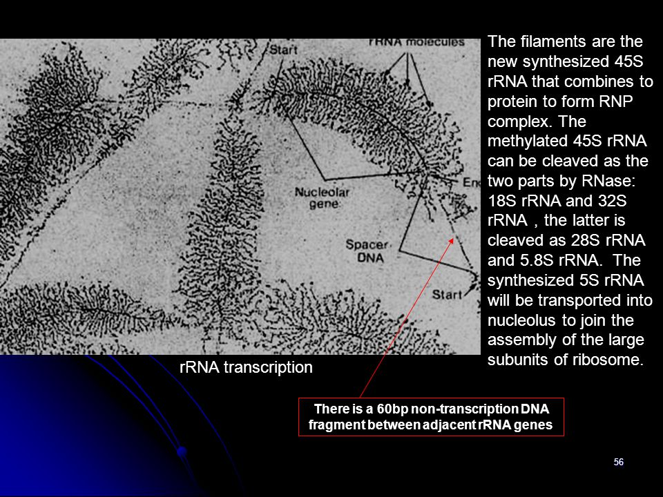 56 rRNA transcription The filaments are the new synthesized 45S rRNA that combines to protein to form RNP complex. The methylated 45S rRNA can be clea