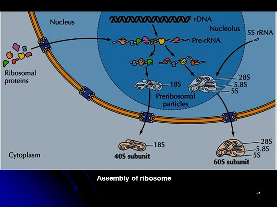 57 Assembly of ribosome