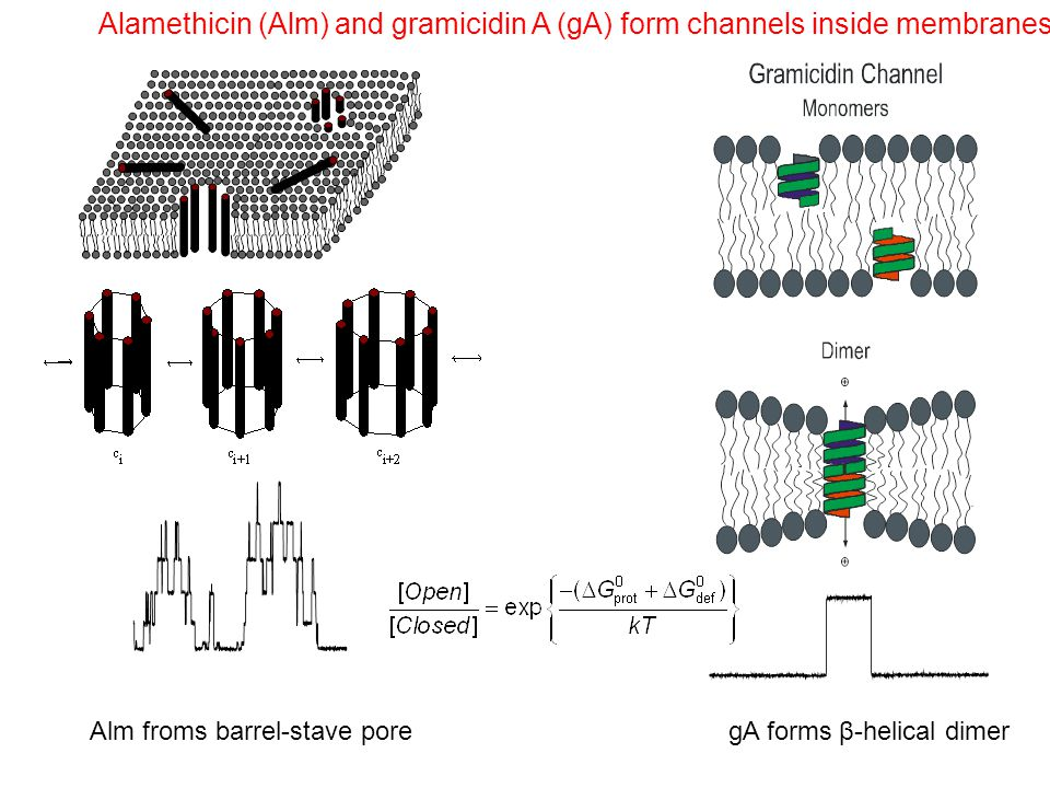 Alamethicin (Alm) and gramicidin A (gA) form channels inside membranes Alm froms barrel-stave poregA forms β-helical dimer