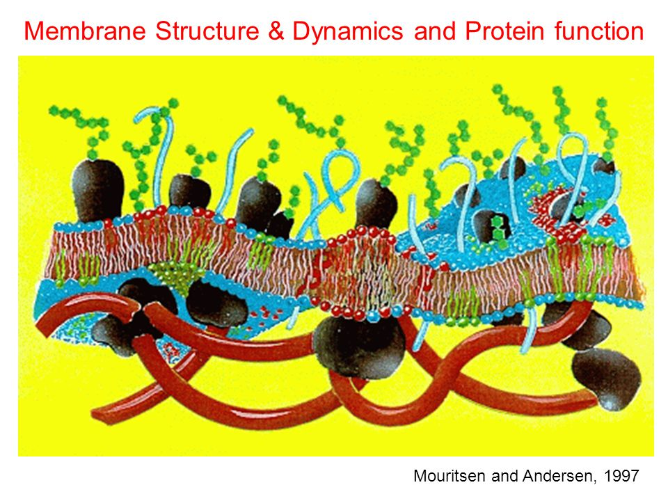 Membrane Structure & Dynamics and Protein function Mouritsen and Andersen, 1997