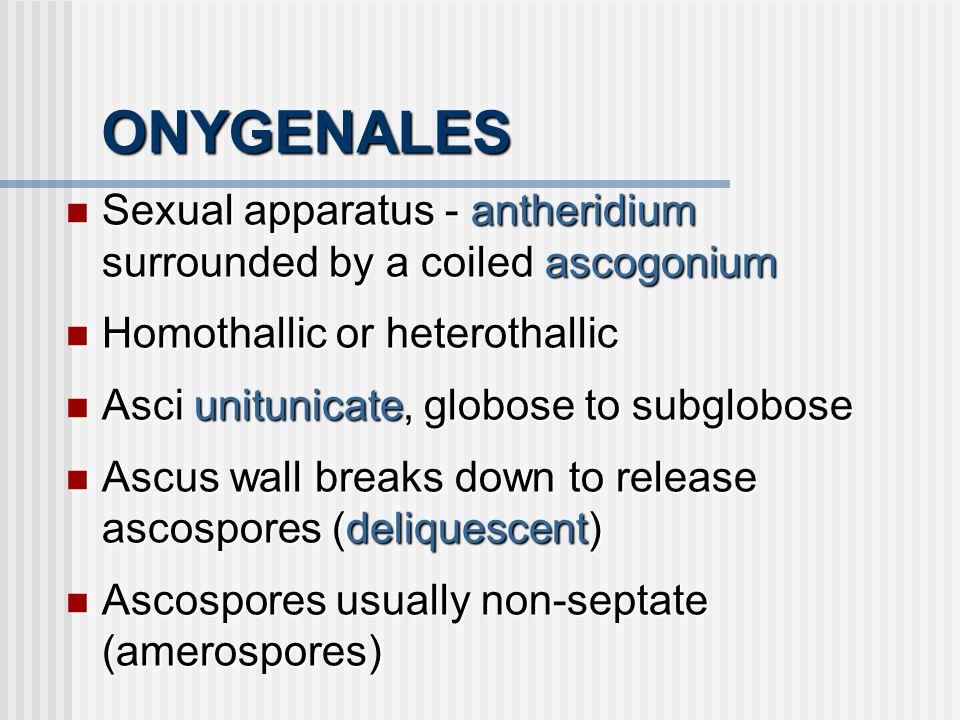 ONYGENALES Sexual apparatus - antheridium surrounded by a coiled ascogonium Sexual apparatus - antheridium surrounded by a coiled ascogonium Homothall