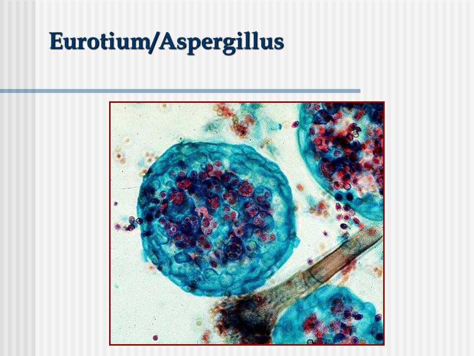Eurotium/Aspergillus