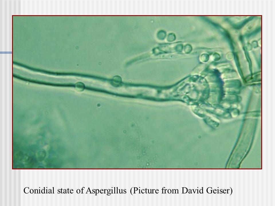 http://www.bsu.edu/classes/ruch/msa/geiser/1.jpg Conidial state of Aspergillus (Picture from David Geiser)