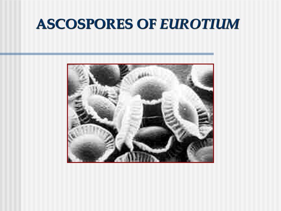 ASCOSPORES OF EUROTIUM