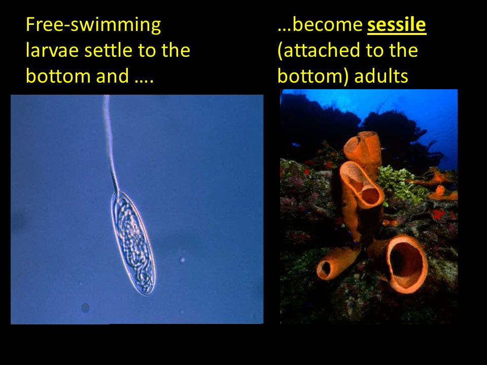 Free-swimming larvae settle to the bottom and …. …become sessile (attached to the bottom) adults