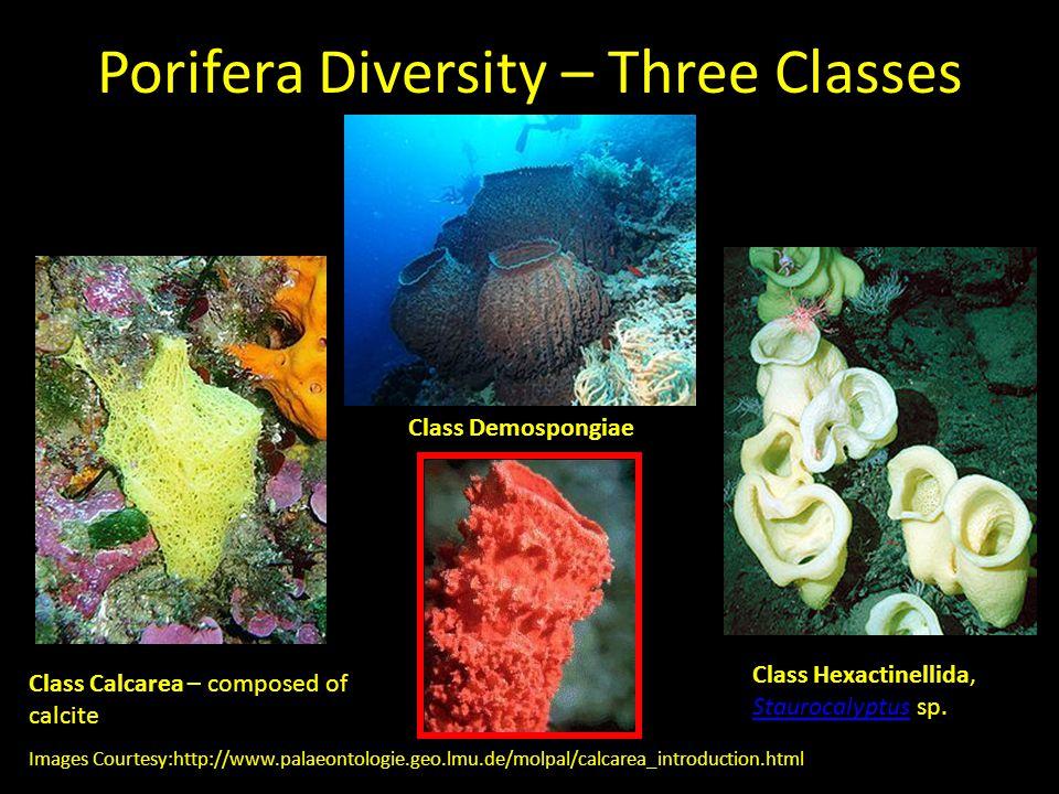 Porifera Diversity – Three Classes Class Calcarea – composed of calcite Class Hexactinellida, Staurocalyptus sp. Staurocalyptus Images Courtesy:http:/
