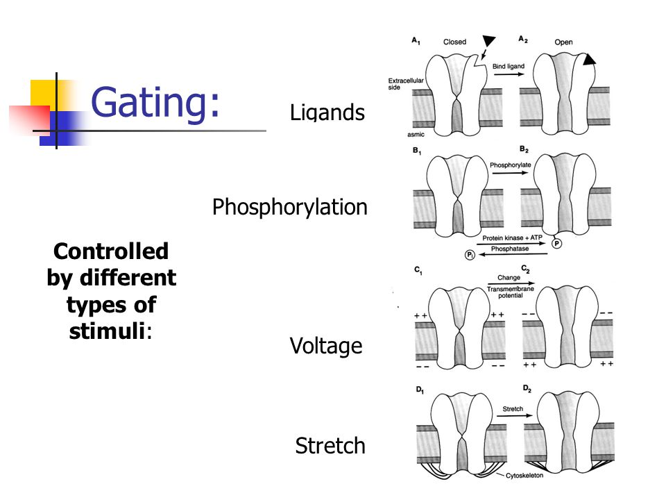 Gating: Controlled by different types of stimuli: Stretch Ligands Voltage Phosphorylation