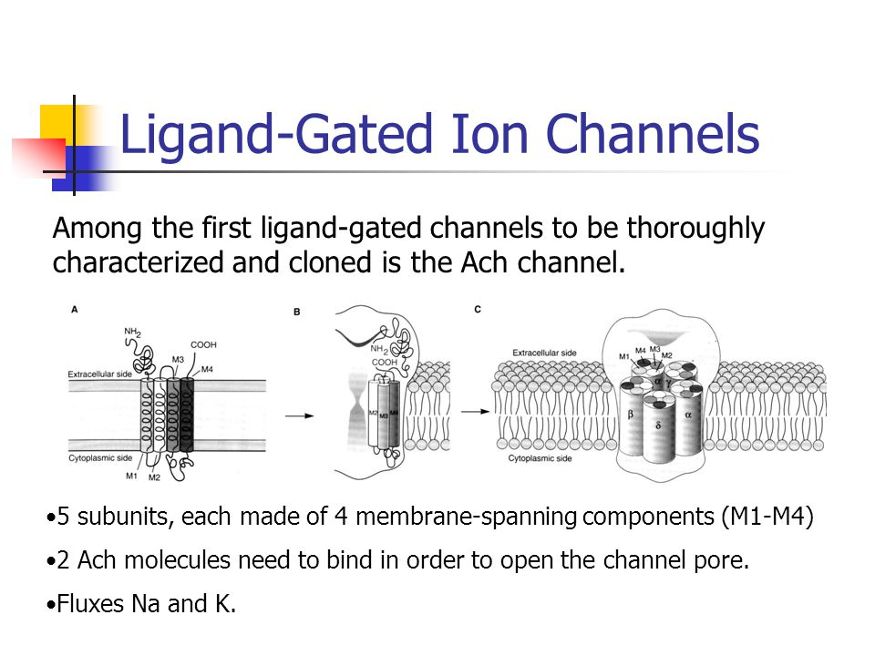 Ligand-Gated Ion Channels Among the first ligand-gated channels to be thoroughly characterized and cloned is the Ach channel. 5 subunits, each made of