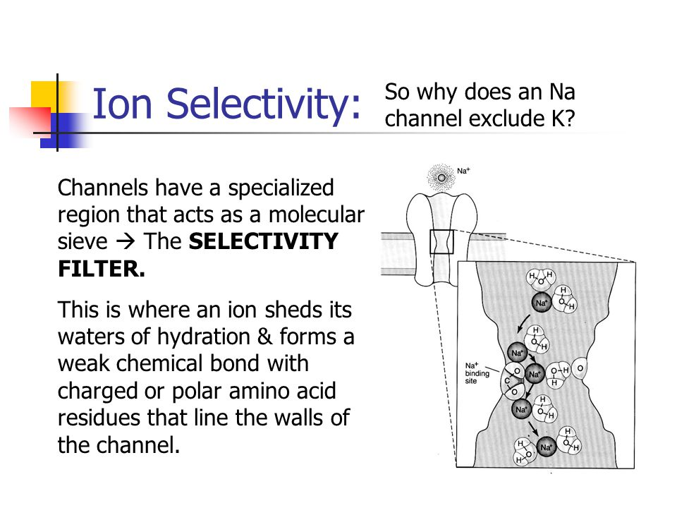 Ion Selectivity: So why does an Na channel exclude K? Channels have a specialized region that acts as a molecular sieve  The SELECTIVITY FILTER. This