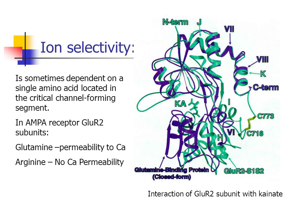 Ion selectivity: Interaction of GluR2 subunit with kainate Is sometimes dependent on a single amino acid located in the critical channel-forming segme