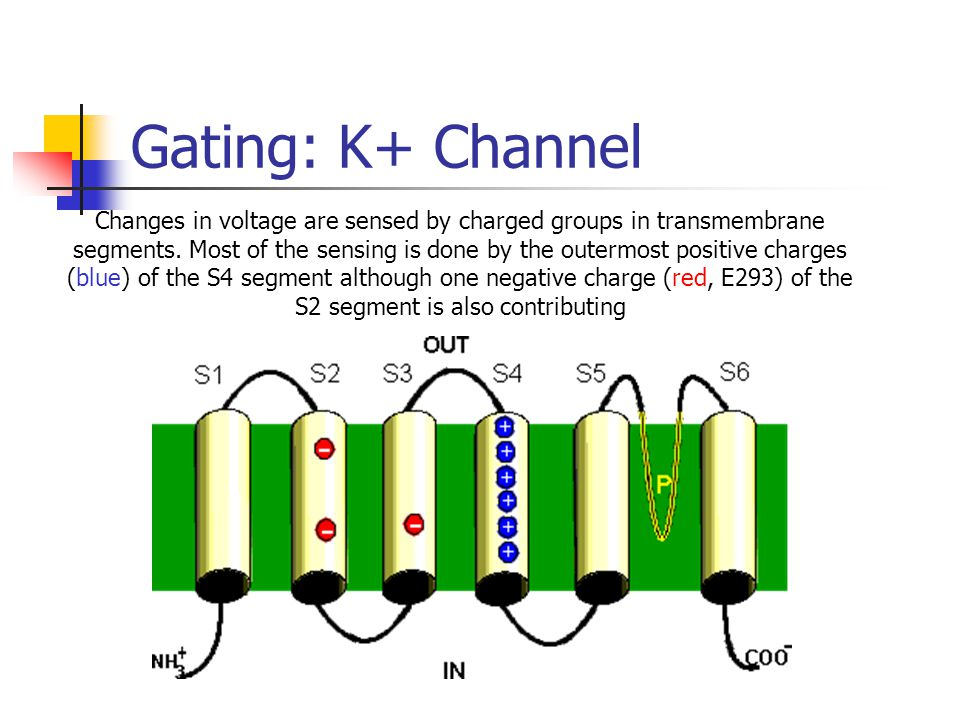 Gating: K+ Channel Changes in voltage are sensed by charged groups in transmembrane segments.