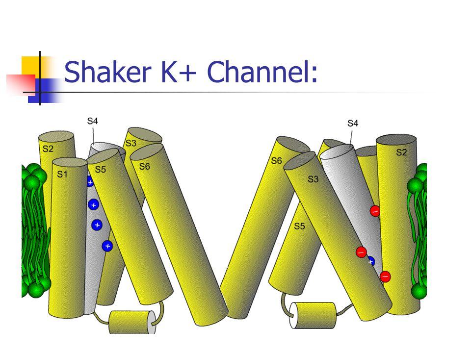 Shaker K+ Channel: