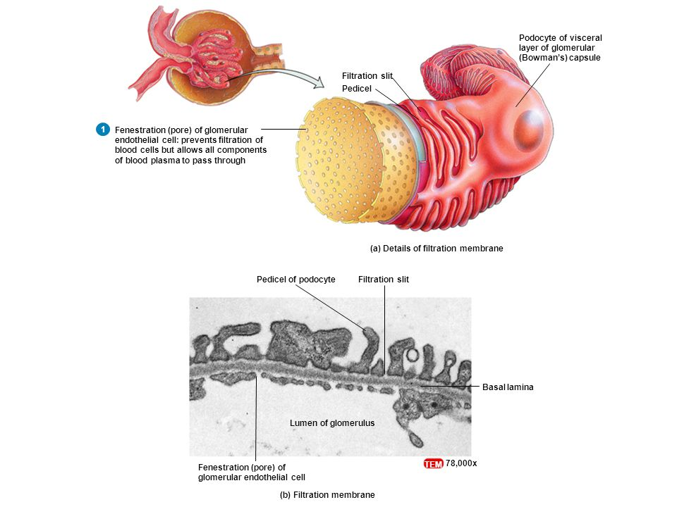 Filtration slitPedicel of podocyte Fenestration (pore) of glomerular endothelial cell Basal lamina Lumen of glomerulus (b) Filtration membrane TEM 78,000x (a) Details of filtration membrane Filtration slit Pedicel Fenestration (pore) of glomerular endothelial cell: prevents filtration of blood cells but allows all components of blood plasma to pass through Podocyte of visceral layer of glomerular (Bowman's) capsule 1