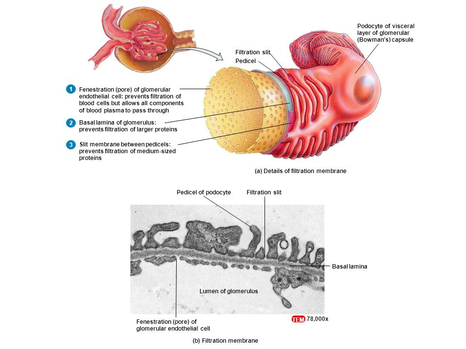 Filtration slitPedicel of podocyte Fenestration (pore) of glomerular endothelial cell Basal lamina Lumen of glomerulus (b) Filtration membrane TEM 78,000x (a) Details of filtration membrane Filtration slit Pedicel Fenestration (pore) of glomerular endothelial cell: prevents filtration of blood cells but allows all components of blood plasma to pass through Basal lamina of glomerulus: prevents filtration of larger proteins Slit membrane between pedicels: prevents filtration of medium-sized proteins Podocyte of visceral layer of glomerular (Bowman's) capsule 1 2 3
