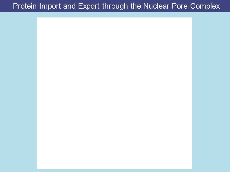 Protein Import and Export through the Nuclear Pore Complex Protein Import and Export through the Nuclear Pore Complex