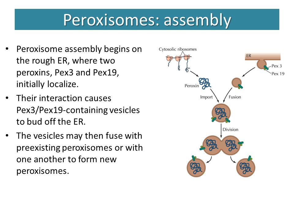 Peroxisomes: assembly Peroxisome assembly begins on the rough ER, where two peroxins, Pex3 and Pex19, initially localize. Their interaction causes Pex