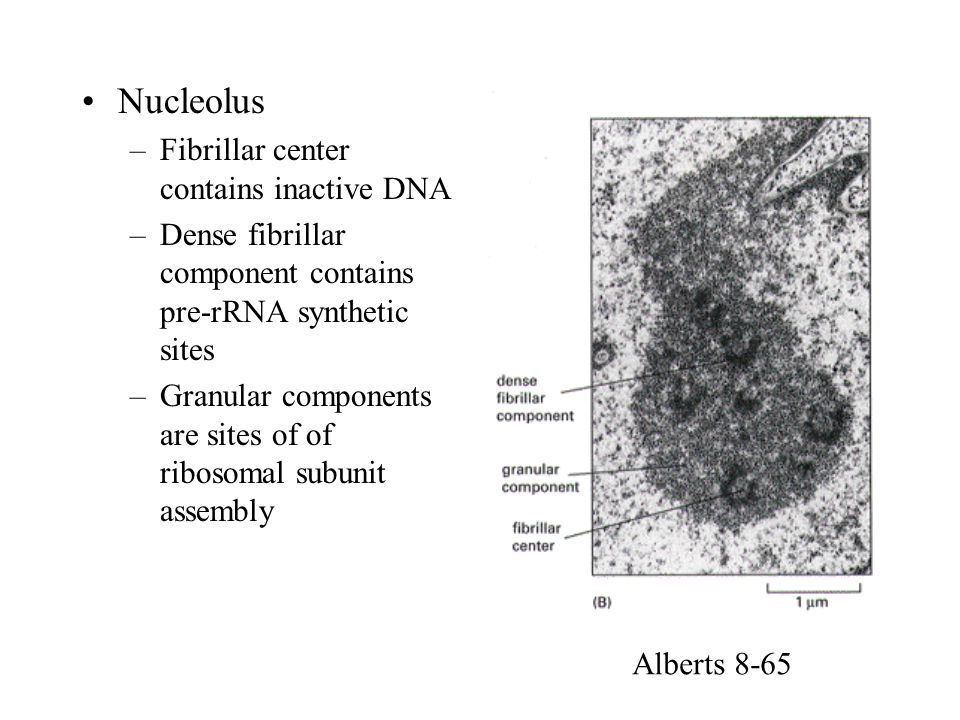 –Fibrillar center contains inactive DNA –Dense fibrillar component contains pre-rRNA synthetic sites –Granular components are sites of of ribosomal su