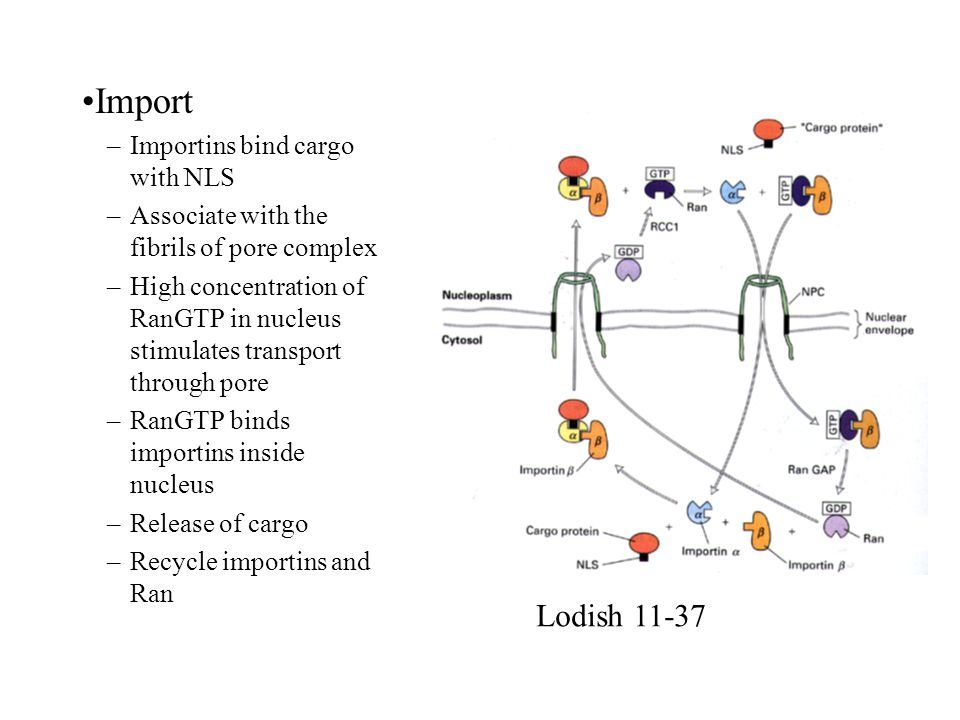 Import –Importins bind cargo with NLS –Associate with the fibrils of pore complex –High concentration of RanGTP in nucleus stimulates transport throug