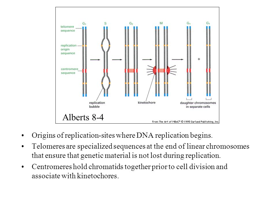 Origins of replication-sites where DNA replication begins. Telomeres are specialized sequences at the end of linear chromosomes that ensure that genet