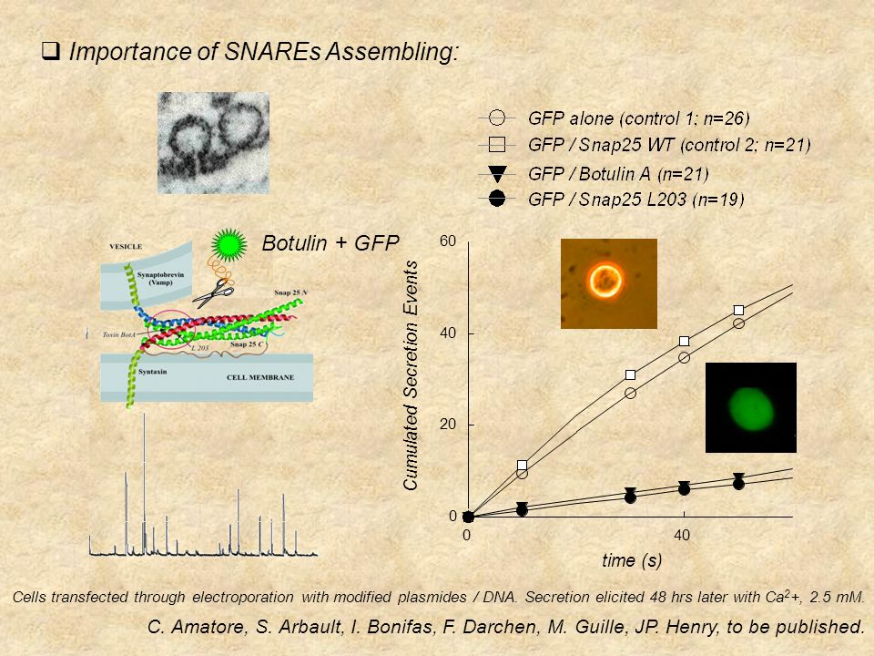  Importance of SNAREs Assembling: Botulin + GFP Cells transfected through electroporation with modified plasmides / DNA.
