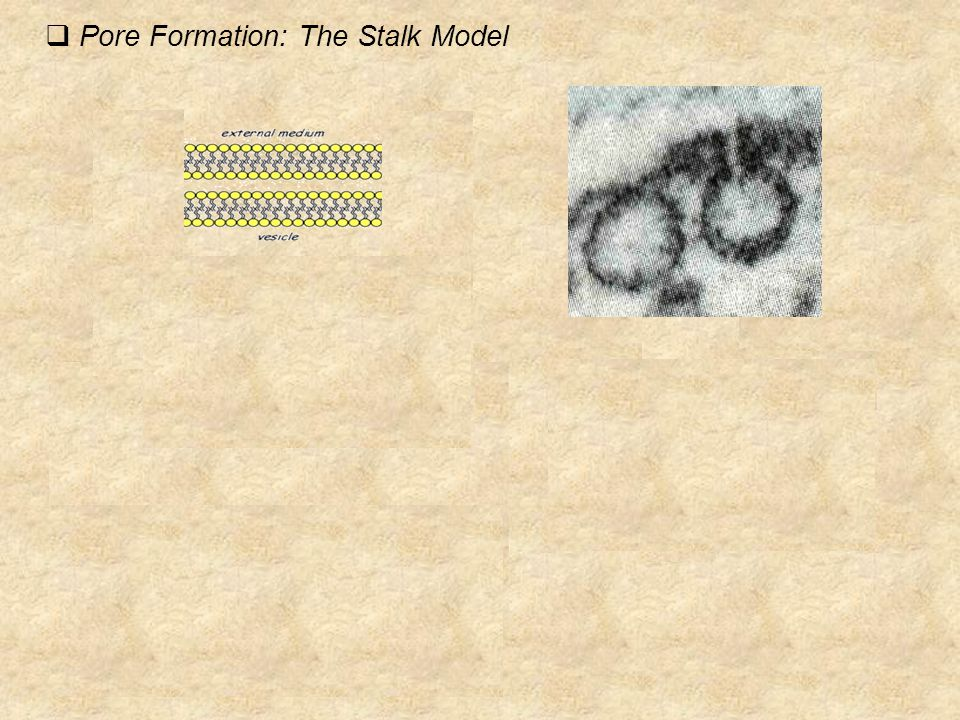  Pore Formation: The Stalk Model