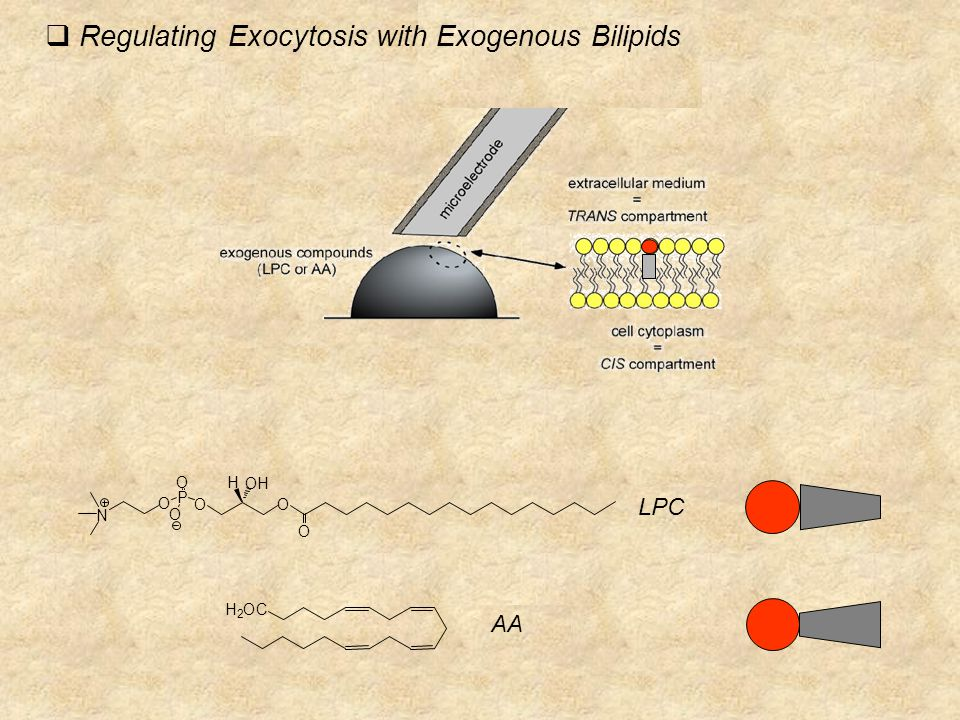 LPC N O P O O O O H OH O AA CO 2 H  Regulating Exocytosis with Exogenous Bilipids