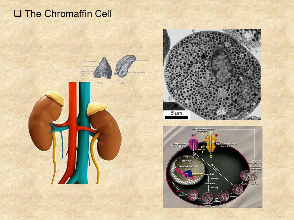  The Chromaffin Cell